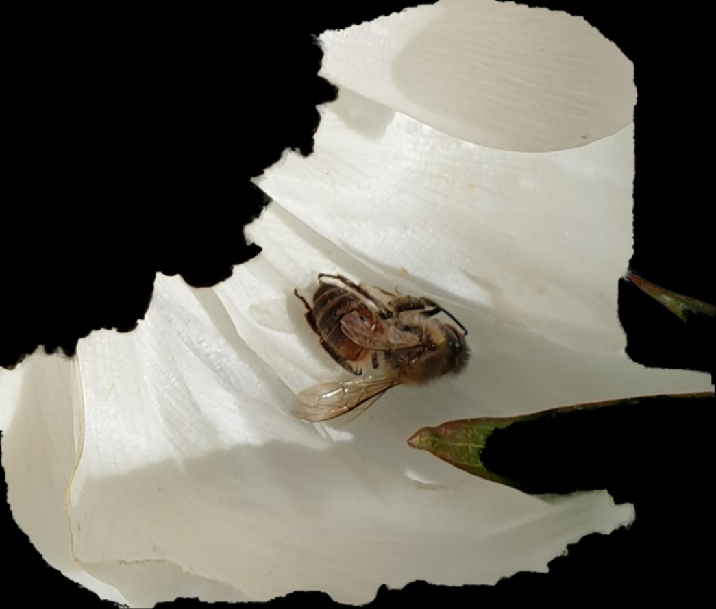 꿀벌의 과로사(過勞死)