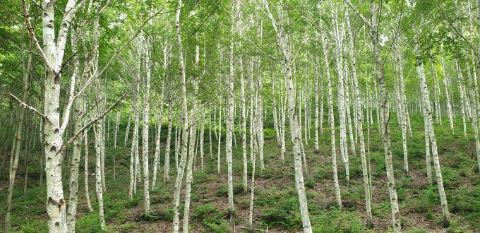 자작나무숲